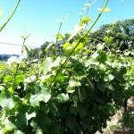 Grüner Veltliner: A tasty but tiny blip on the wine radar