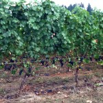 Willamette Valley's Miracle Wine Grape Harvest 2011