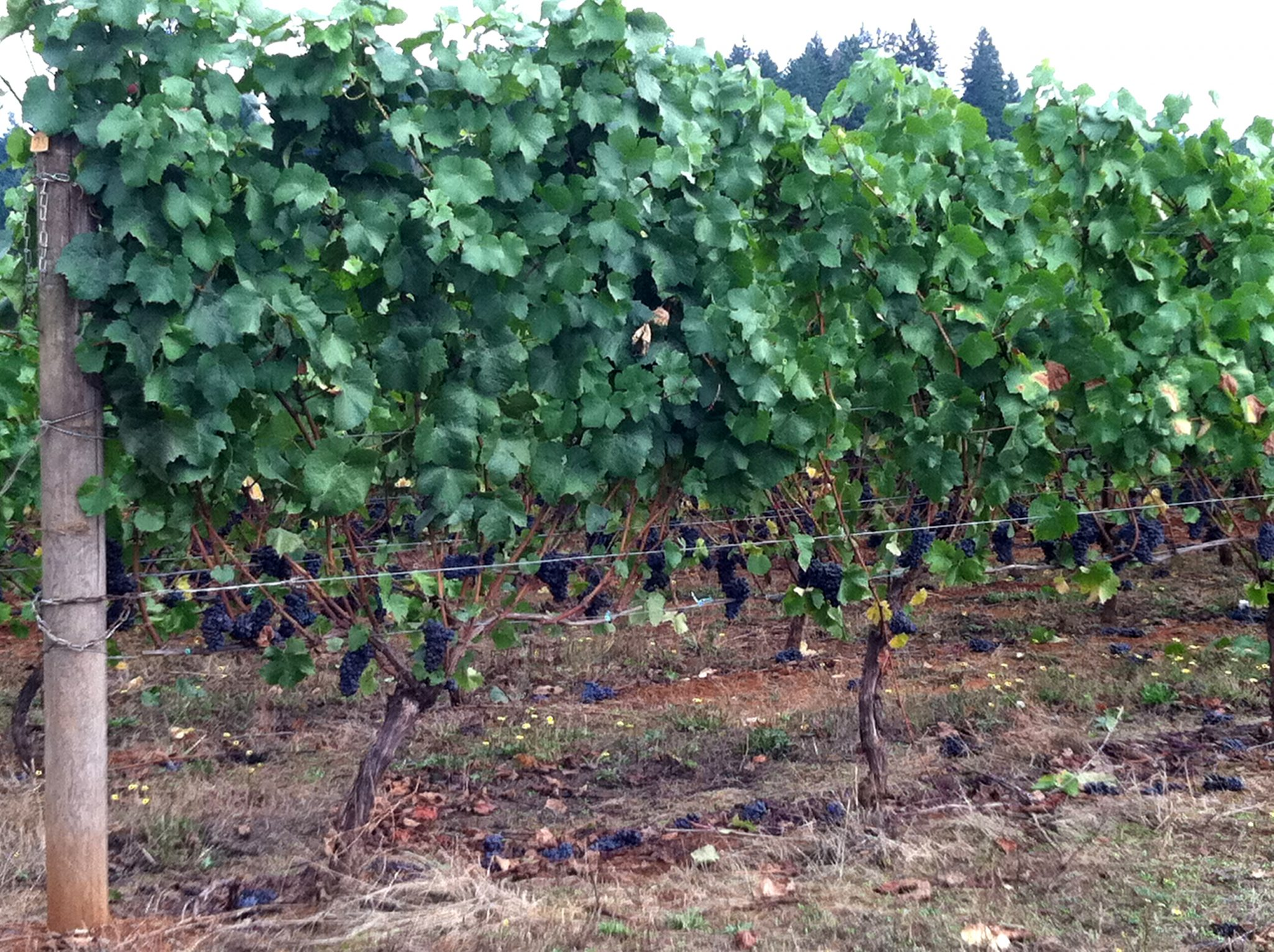 Willamette Valley's Miracle Wine Grape Harvest 2011<span class=