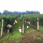 2013 Oregon Wine Harvest Report