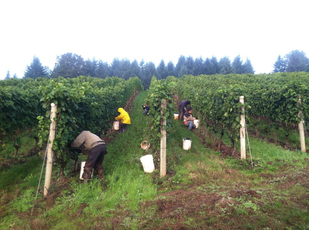 2013 Oregon Wine Harvest Report<span class=