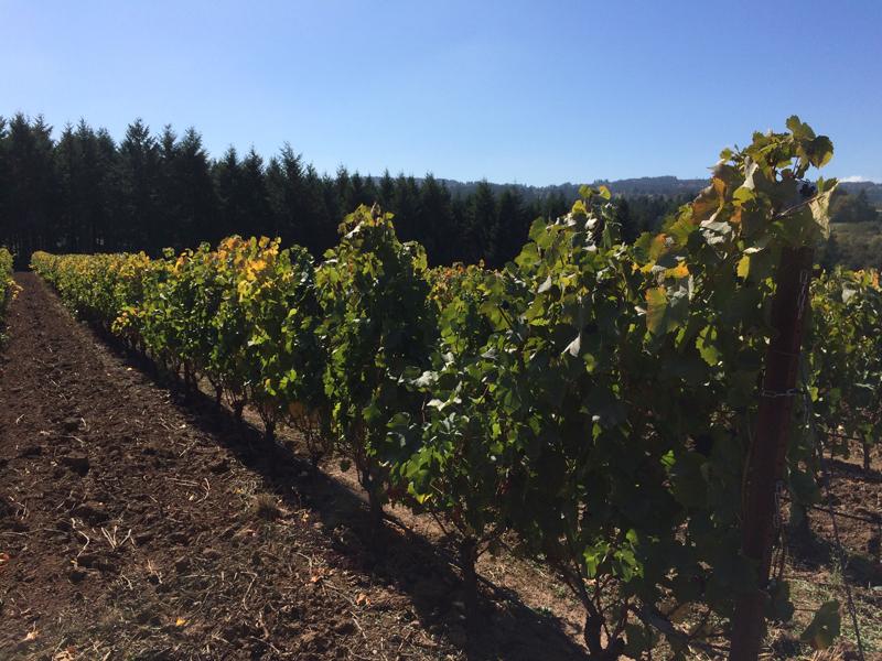 The vineyards at Ponzi Vineyards