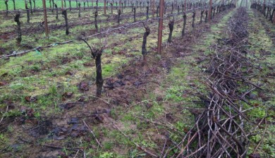 Viticulture 101- Pruning grapevines1