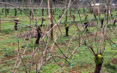 Viticulture 101- Pruning grapevines2