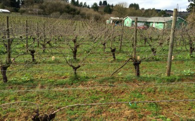 Viticulture 101- Pruning grapevines4