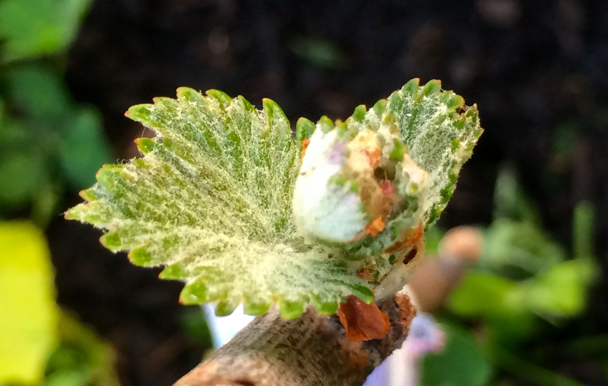 Viticulture 101: Bud break in the vineyard