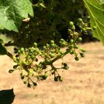 Viticulture 101: Grape bloom, flowering and fruit set in the vineyard