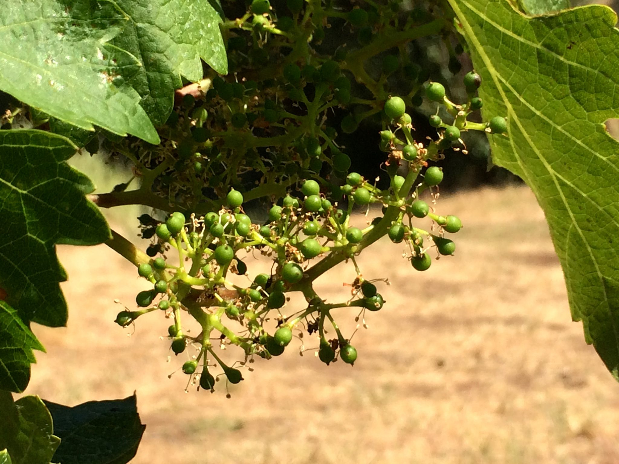 Viticulture 101: Grape bloom, flowering and fruit set in the vineyard<span class=