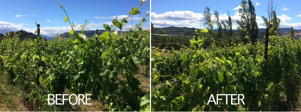 Viticulture 101: Grapevine canopy management part one