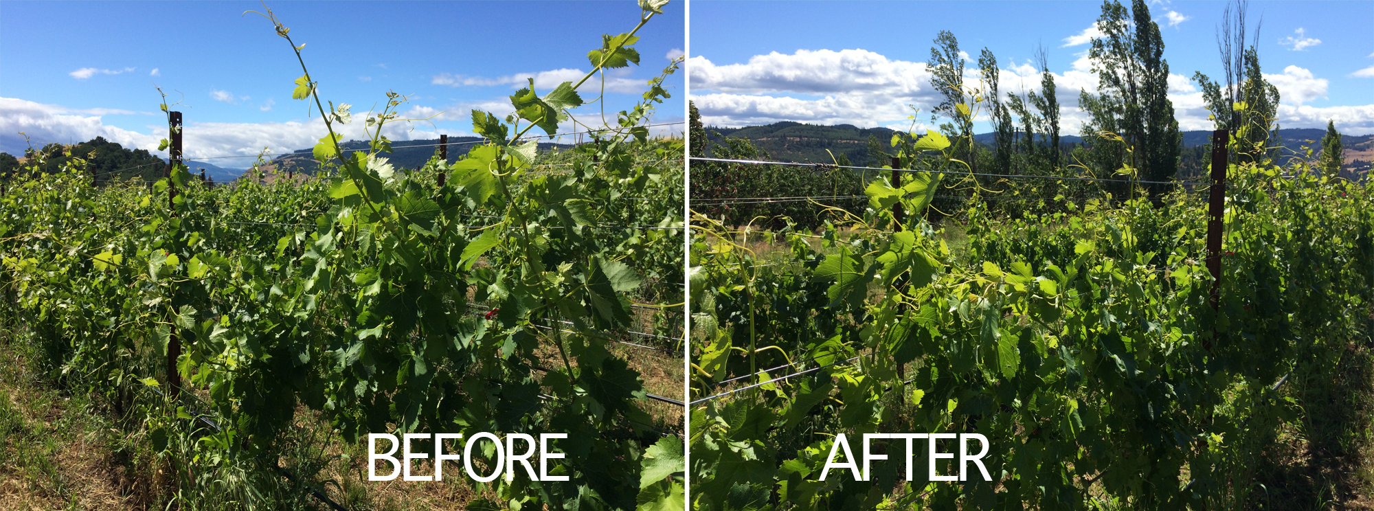 Viticulture 101: Grapevine canopy management part one<span class=