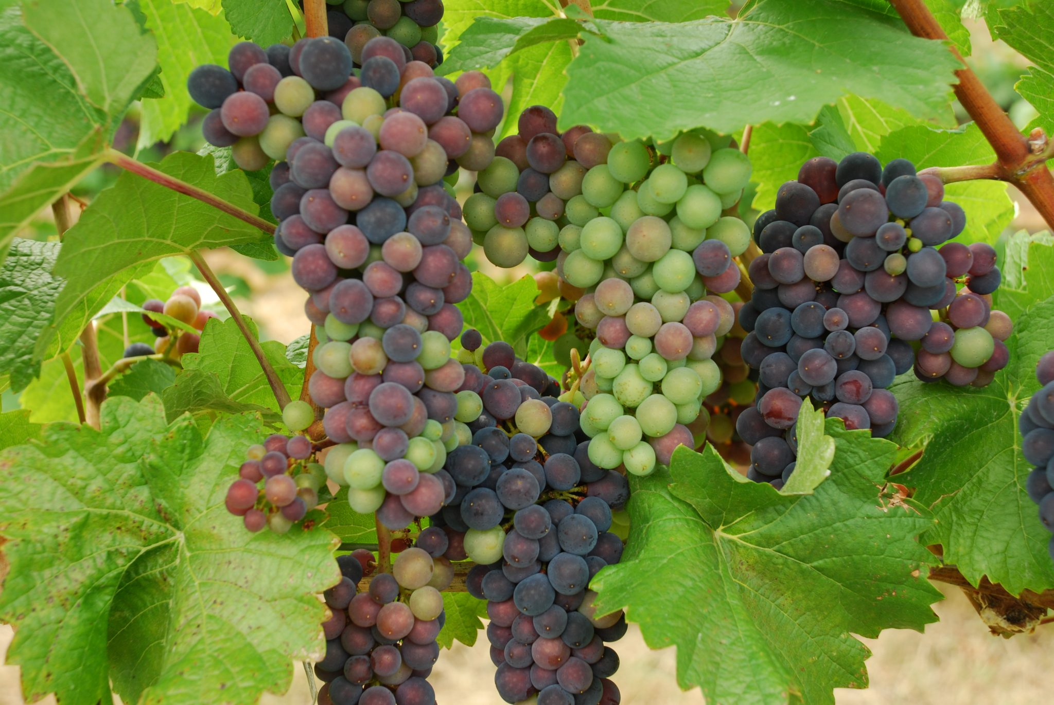 Viticulture 101: Veraison in the vineyard<span class=